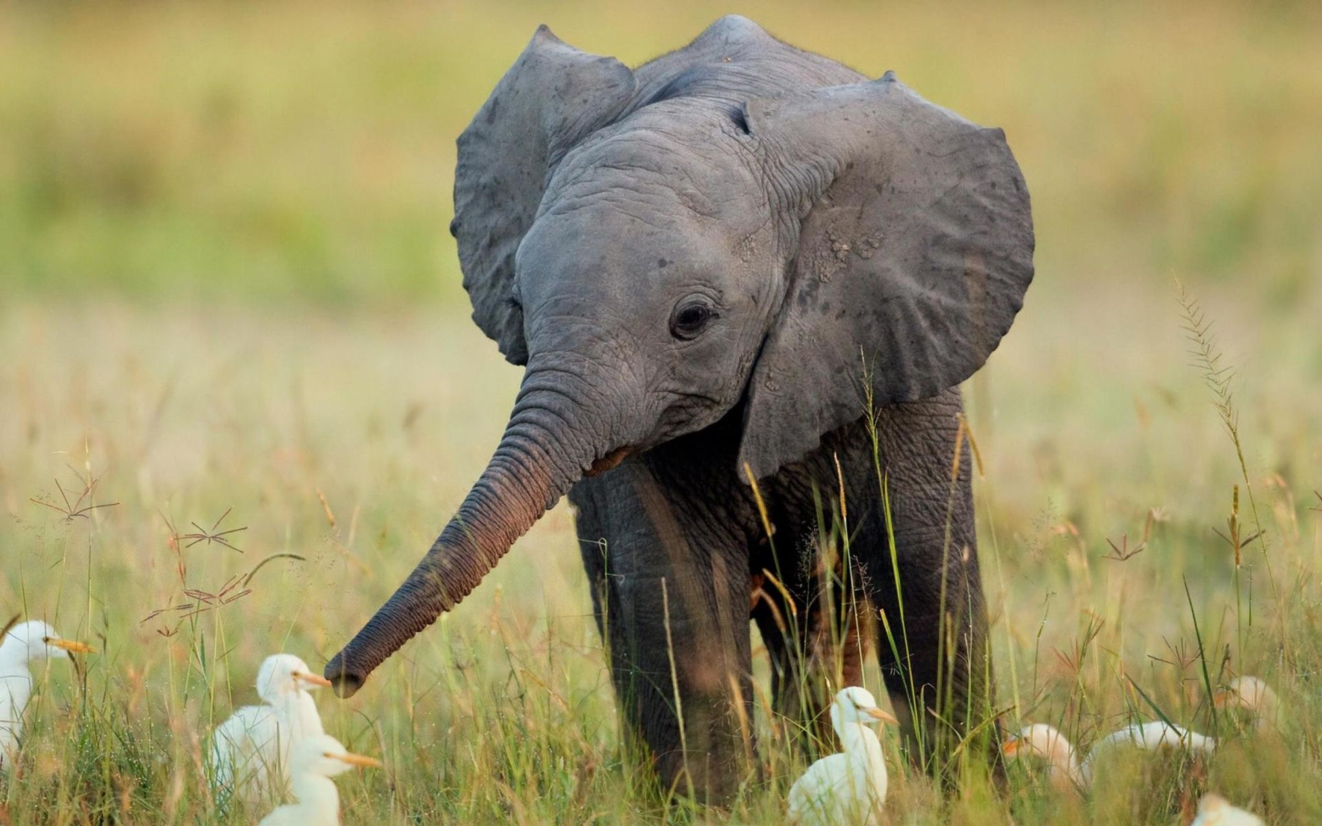 Babe Elephant Playing